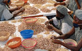 Cashew nut central to Guinea-Bissau economy: a blessing or a curse?